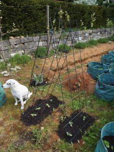 Hund bewacht Gurken