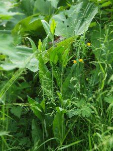 Wilde Gartenkresse