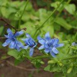 Blüten der Schnittzichorie