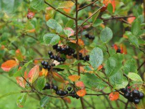 schwarze apfelbeere aronia melanocarpa alles aus dem garten. Black Bedroom Furniture Sets. Home Design Ideas